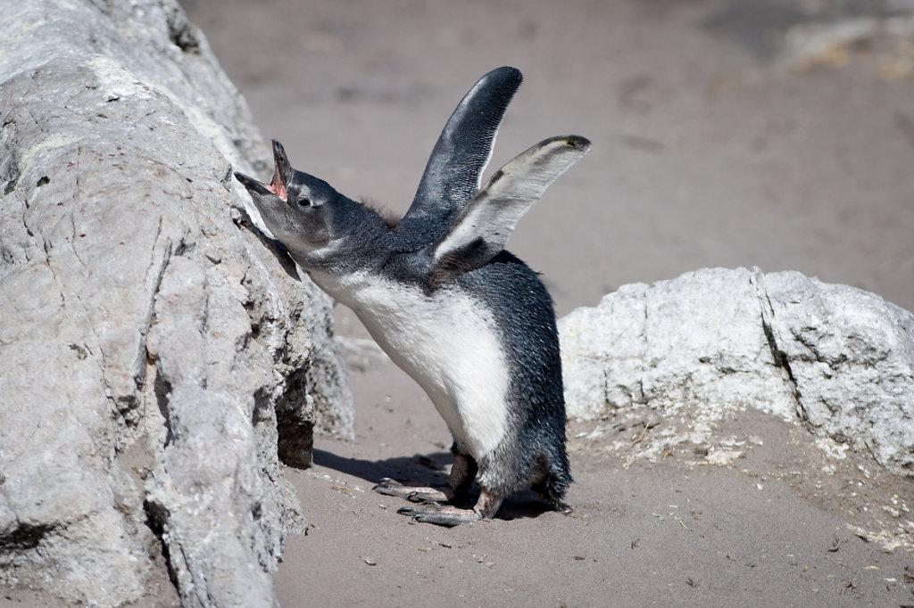 Betty's Bay, Stony Point Penguin Colony